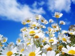 nature_flowers_spring_daisy__flowers_008342_